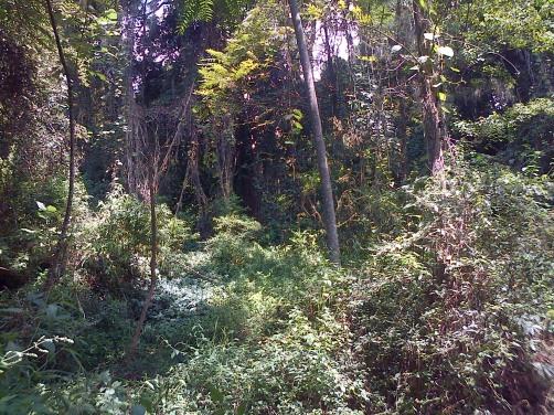 Pohon Walitis